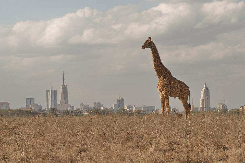giraffe-standing-on-grassy-field-against-city-894690770-5ae9d01543a10300360255f8