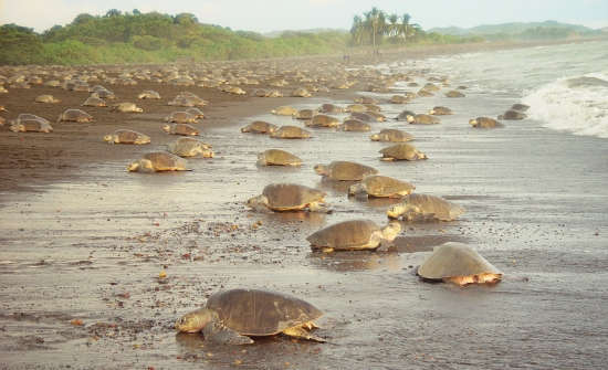 Costa-Rica-Sea-Turtle-Nesting-at-Ostional-Beach