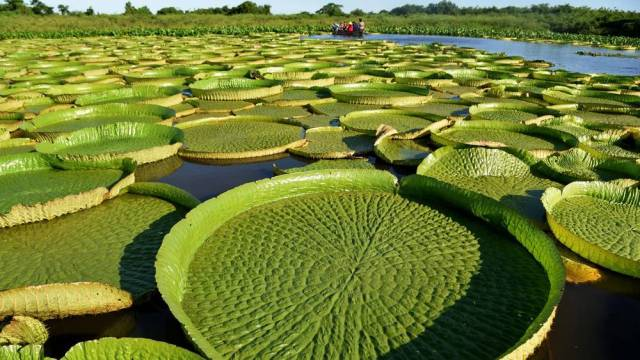 lily-pads-paraguay-3