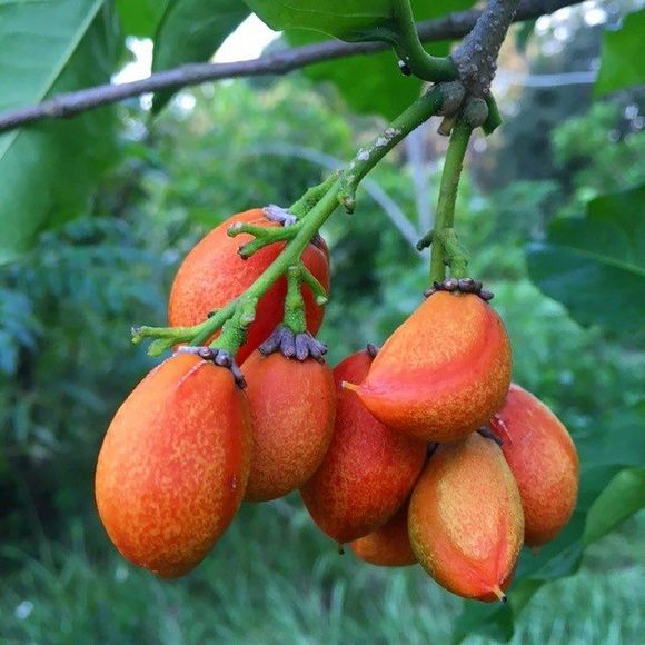 PeanutButterFruit_sow exotic