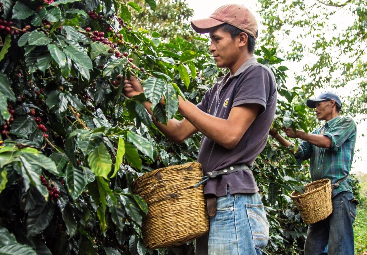 hand-pickin-coffee-in-honduras.jpg